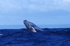 Baleine excursion Pouldo