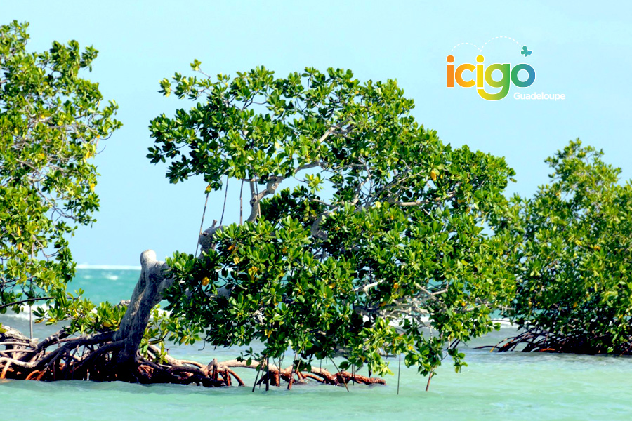 Click to enlarge image mangrove-du-lagon.jpg