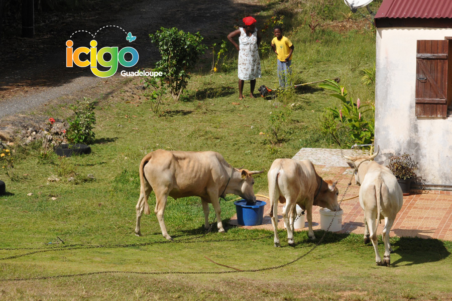 Click to enlarge image vaches-abrevoir-mg.jpg