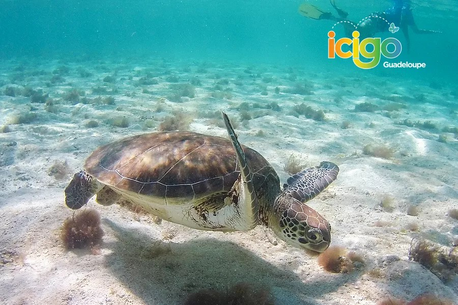 2 decouverte plongee tortues marines Guadeloupe