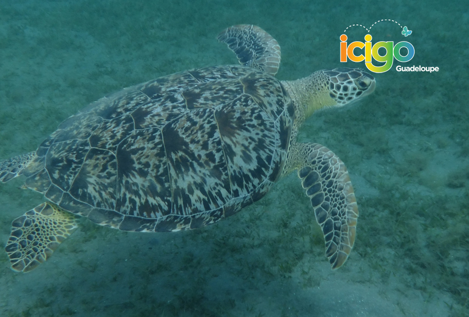 Click to enlarge image tortue-guadeloupe.jpg