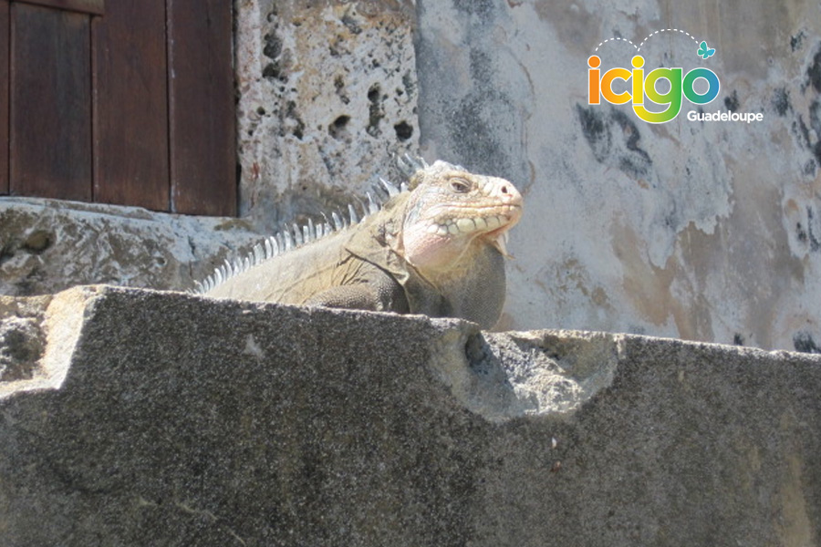 Click to enlarge image iguane.jpg