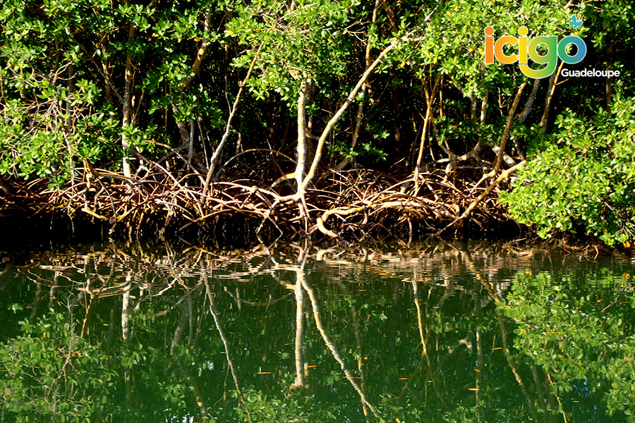 Click to enlarge image mangrove.jpg