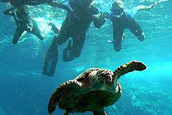 Observation tortue Caret